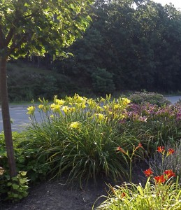 Senior Center daylilies